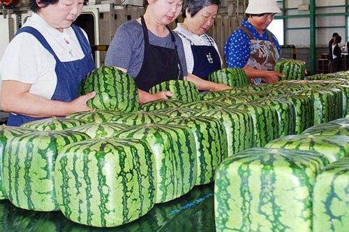 Dưa hấu vuông là loại dưa nổi tiếng ở Nhật Bản và có giá rất đắt đỏ