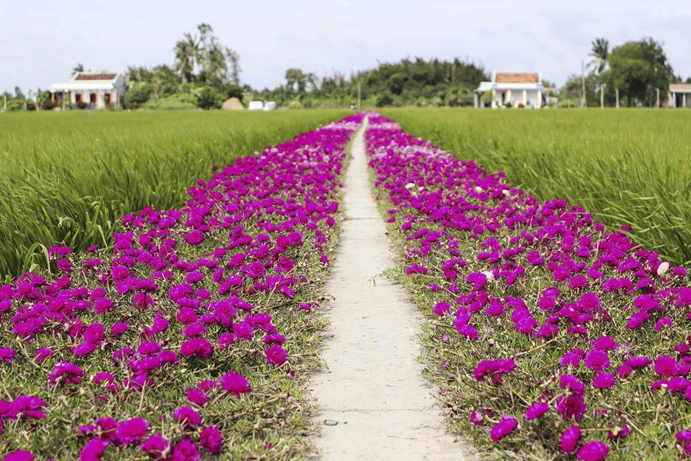Trải qua biết bao mùa mưa nắng, con đường giờ trở nênbắt mắtvới những bông hoa mười giờ rực rỡ. Nó cũng là niềm vui nhỏ của gia đình ông và người dân trong vùng.