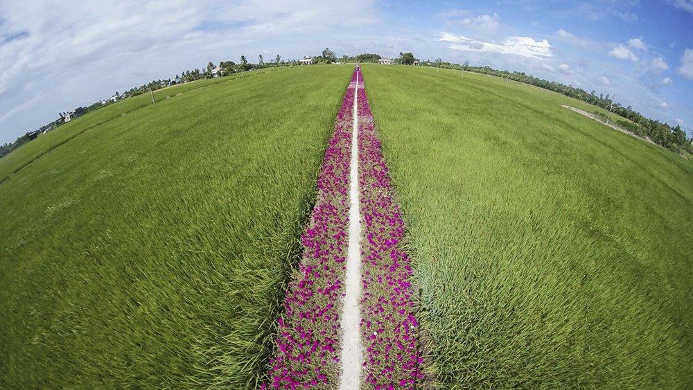 Con đường hoa mười giờ giữa ruộng lúa đẹp quá sức tưởng tượng đang khiến nhiều người muốn tìm địa chỉ để được check in, thưởng ngoạn.