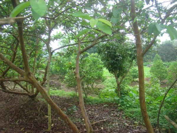 Vườn ổi Bo (Nguồn: Intrenet).