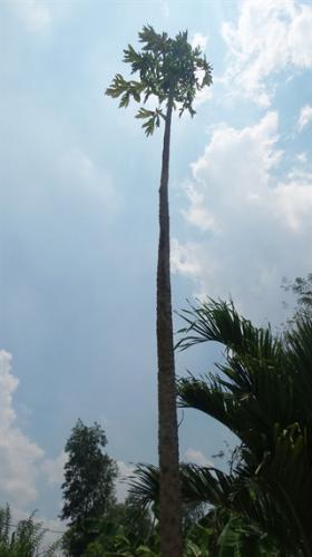 Cây đu đủ cao gần 10m làm nhiều người ngạc nhiên, đến nay đã cho hàng ngàn trái