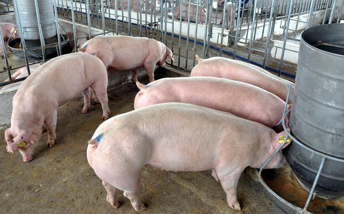 Giá thịt lợn bật tăng mạnh, lên mức 40.000-43.000 đồng/kg