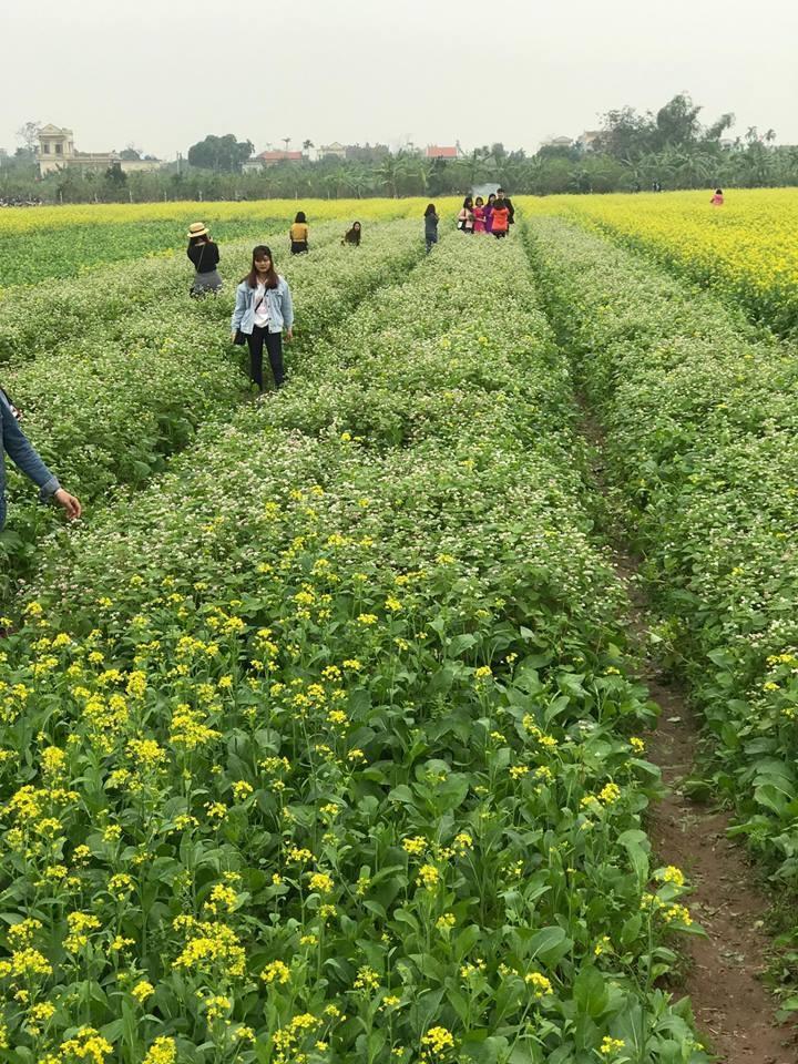 Hoa tam giác mạch ở Thái Bình được trồng thành luống rất đẹp và đều nhau. (Ảnh: Thảo Văn)