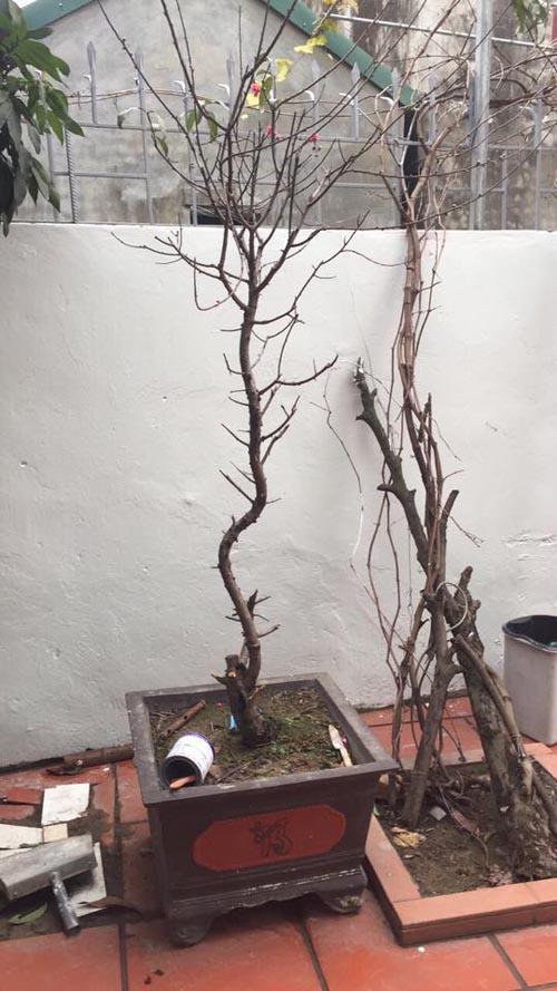 Cây đào cao ráo có tận... 3 bông hoa!