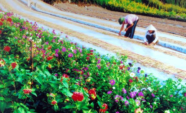 Vùng chuyên canh trồng hoa ở xã An Ninh.