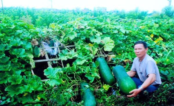 Giống bí lai F1 cho hiệu quả kinh tế cao của hộ ông Trần Xuân Hợi ở xã Đông Xuyên.