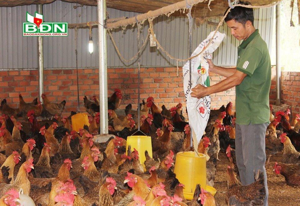 Anh Minh chăm sóc đàn gà chọi lai đời bố mẹ