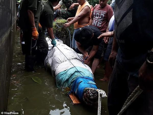Con cá sấu hung ác bị trói và đem đến cơ sở y tế để kiểm tra dạ dày.