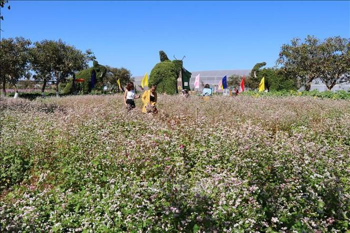 Vườn hoa tam giác mạch thu hút đông đảo du khách tham quan, chụp ảnh.