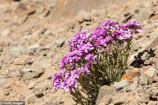 Hoa phlox hồng nở vào đúng dịp này bên Bắc Mỹ