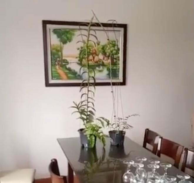 Hiện 2 cây lan này được giao lại cho nhóm người tại Thái Bình chăm sóc.