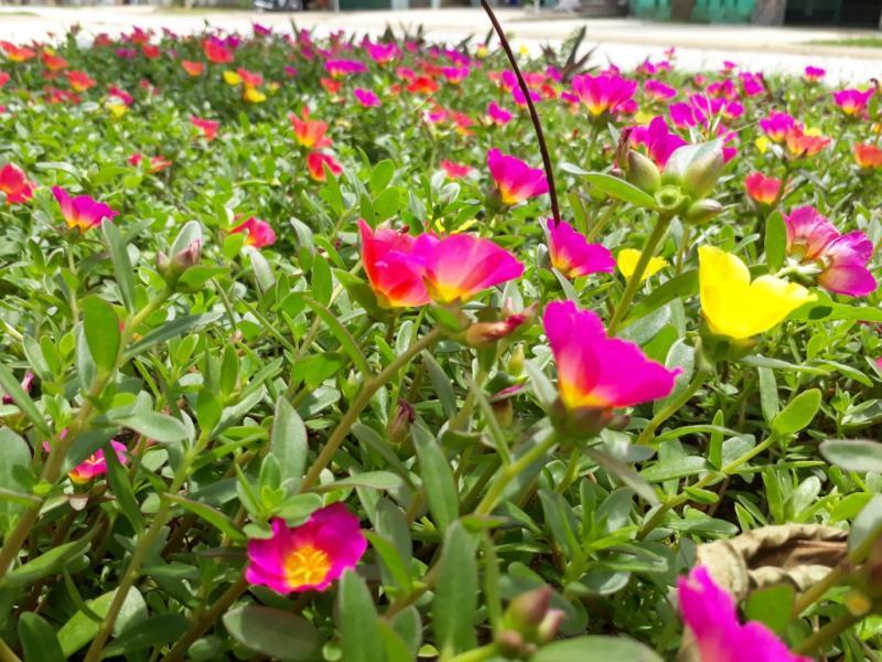 Những con đường hoa đua nhau khoe sắc trên đường làng xã Quảng Thái (huyện Quảng Xương).