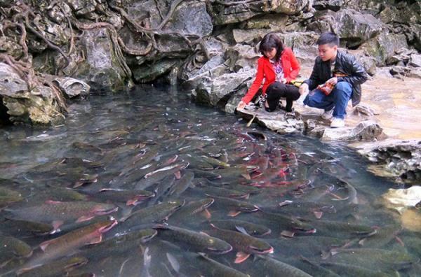 Cho cá ăn ở Suối cá thần Cẩm Lương Thanh Hóa. (Nguồn: Chí Cường)