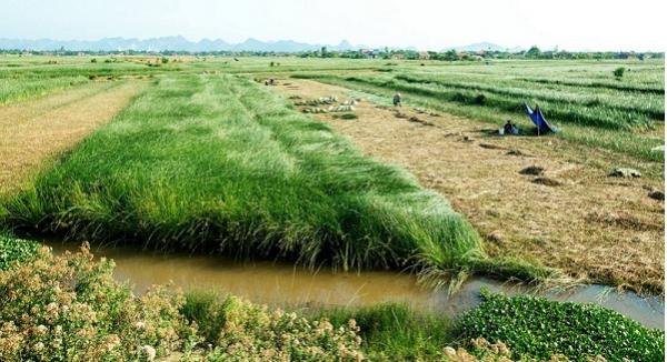Những cánh đồng cói ở Nga Sơn - Thanh Hóa (Nguồn: vivuthanhhoa.com)