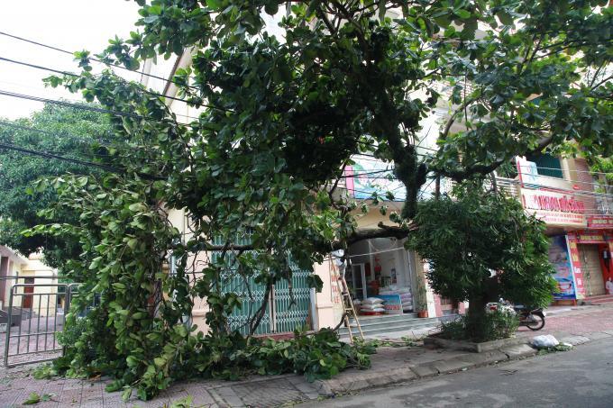Nhiều cây cối hàng chục năm tuổi vẫn đổ gục trước cơn bão số 10.