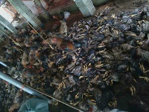 Vật nuôi chết la liệt vì nước lũ