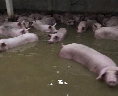 Những con lợn bì bõm trong biển nước