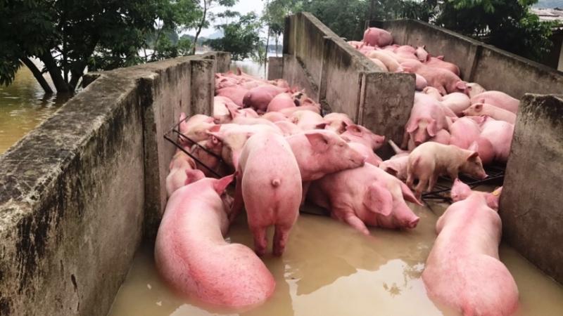 Số ít lợn của trại may mắn sống sót nhờ được di chuyển lên khu vực cao hơn.