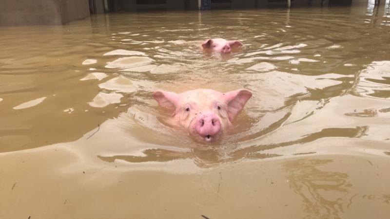 Một số lợn nái cố gắng bơi trong dòng nước lũ