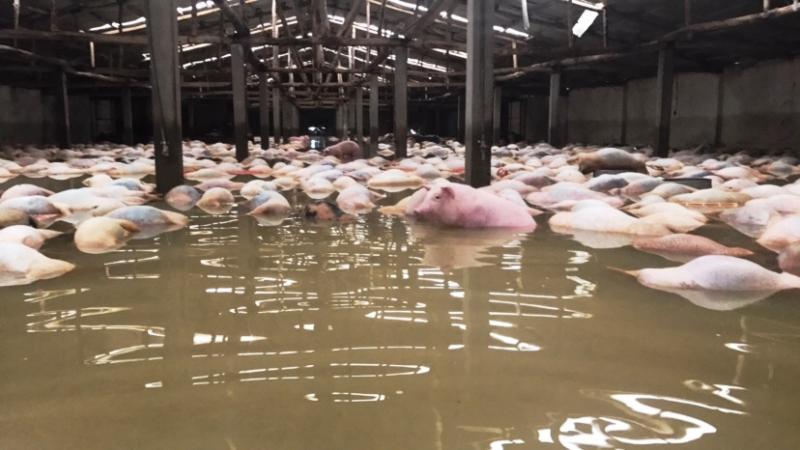 Lợn trong trại tiếp tục chết do bị ngập nước. Số lợn chết hiện giờ đã lên đến 6.000 con