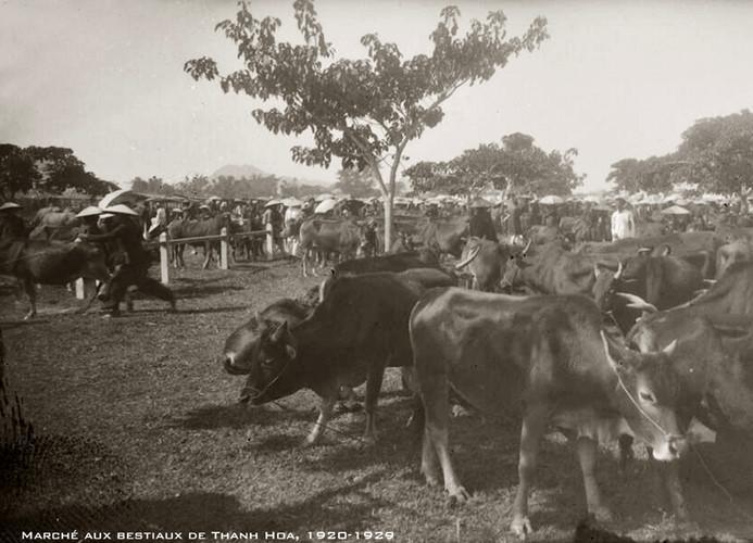 Chợ gia súc ở Thanh Hóa thập niên 1920. Ảnh tư liệu.