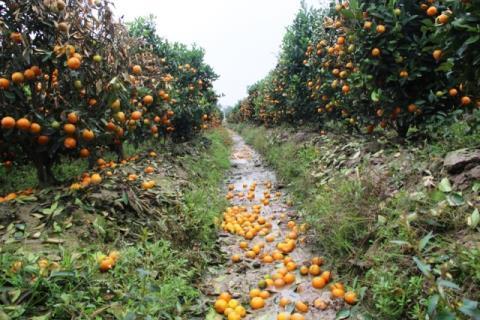 Những cây quất của 2 gia đình tại xã Hợp Tiến (Triệu Sơn) đang chết dần do kẻ gian phun thuốc diệt cỏ. Ảnh: VNN