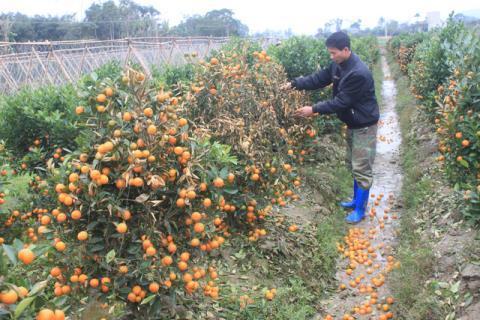 Anh Lê Huy Việt bên vườn quất đang chết héo, quả rụng đầy gốc, nghi bị kẻ xấu phun thuốc diệt cỏ - Ảnh: TTO