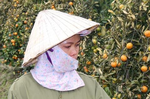 Hai nông dân là anh Lê Đức Việt (ảnh trên) và chị Nguyễn Thị Lụa đã trắng tay mùa quất cảnh Tết . Ảnh: PLO