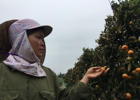 Vườn quất cảnh của gia đình chị Nguyễn Thị Lụa bị phun thuốc cỏ gây thiệt hại lớn. Ảnh: Dân trí