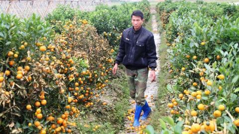 Hàng trăm cây quất của gia đình ông Việt bị đối tượng Hà Thanh Liêm phá hoại bằng thuốc diệt cỏ. Ảnh: VNN
