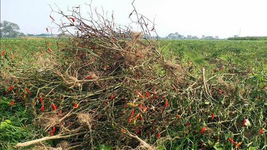 Gần 100 triệu đồng của gia đình ông Thành giờ biến thành đống cây khô