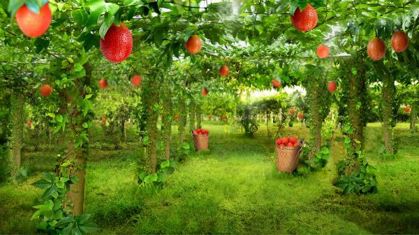 Nông trại dược liệu 250ha trồng gấc ở tỉnh Nghệ An.