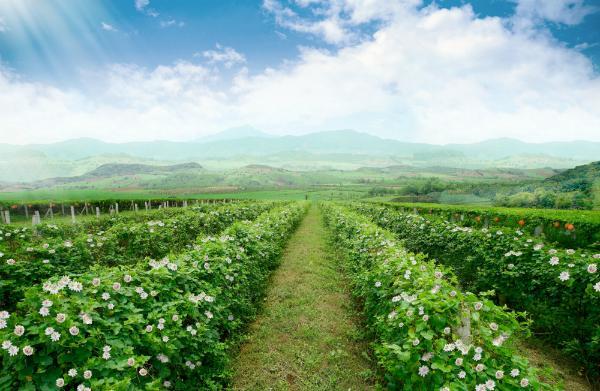 Cánh đồng lạc tiên rộng trăm ha làm nguyên liệu sản xuất thức uống thảo dược TH true Herbal.