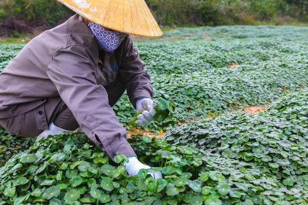 Nhân viên nông trại dược liệu TH trồng rau má hữu cơ làm các sản phẩm thức uống dinh dưỡng.