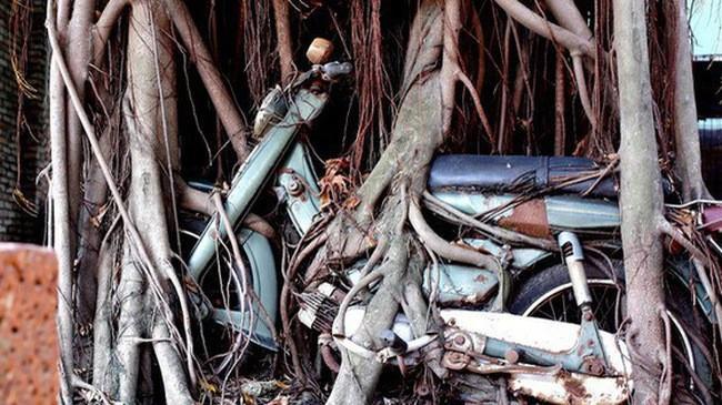 Mối lương duyên không thể tách rời giữa chiếc xe máy Yamaha và cây cổ thụ.