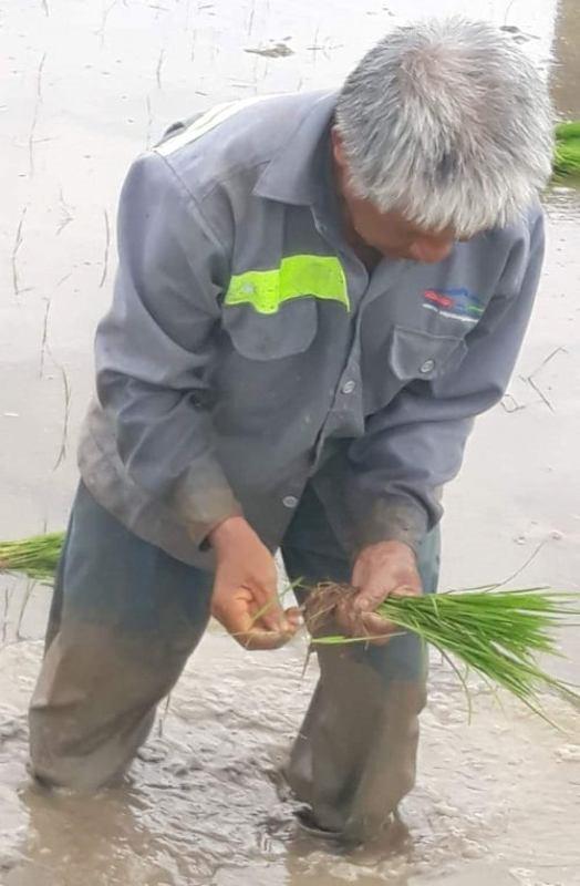 Cụ Lê Văn Phương (68 tuổi) một mình cây 5 sào lúa dưới cái nóng khoảng 40 độ C.. Ảnh: Các nữ công nhân cung cấp.