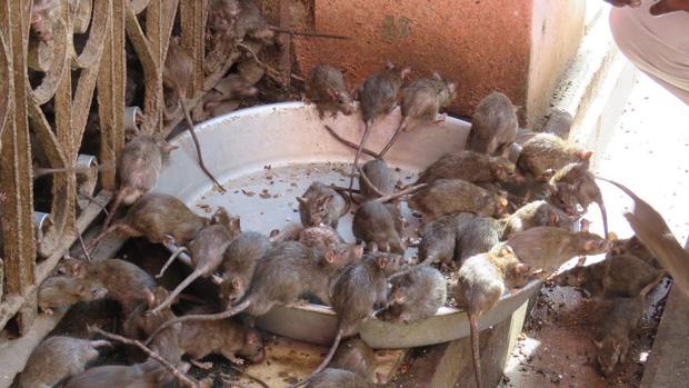 Chuột trong Đền Karni Mata được cho uống sữa và ăn món ngọt làm từ ngũ cốc