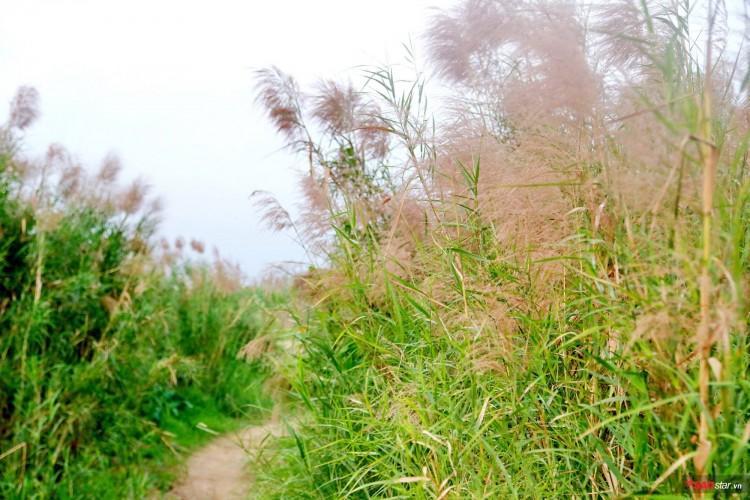 Các con đường mòn ở bãi giữa sông Hồng được hoa lau phủ kín.