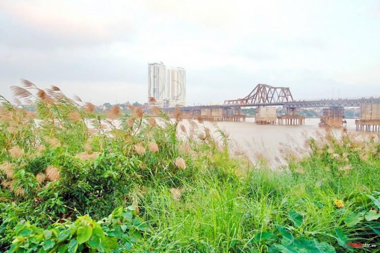 Nhờ có cánh đồng lau này mà thậm chí, cây cầu trăm tuổi Long Biên bỗng trở mình đẹp và thơ mộng hơn.