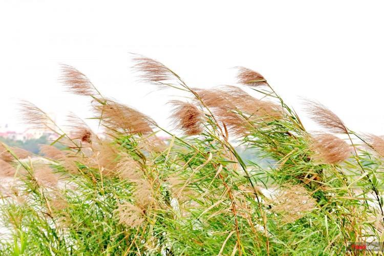 Nhìn thấy hoa lau nở là biết gió lạnh về.