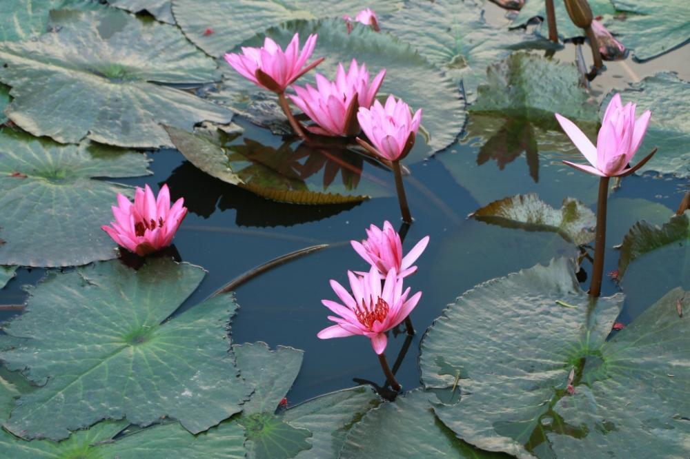Những bông s úng tím hồng đang vào độ nở rộ.