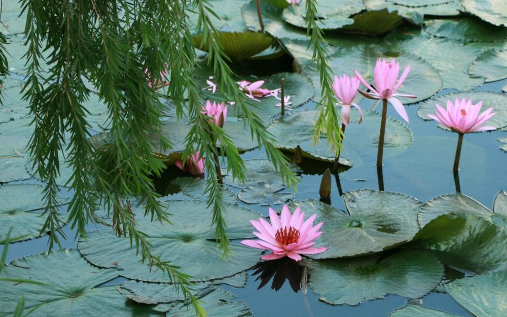 Màu xanh của lá và tím hồng của hoa gợi nên sự thanh khiết, mơ mộng của loài hoa này.