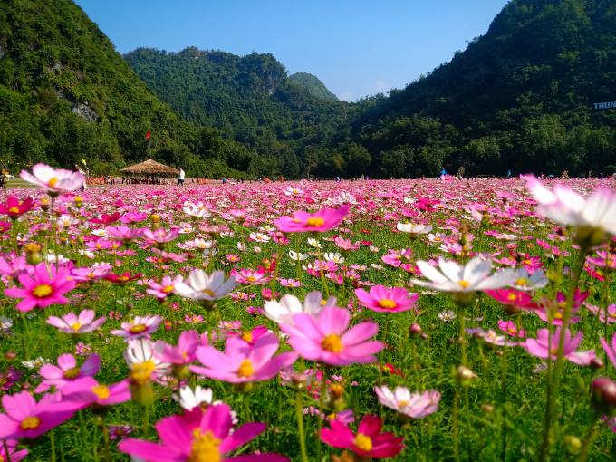 Cách trung tâm TP Hà Nội 170km, tới đây,du kháchcó thể tự do thư giãn giữa không gian hoa cỏ bát ngát.