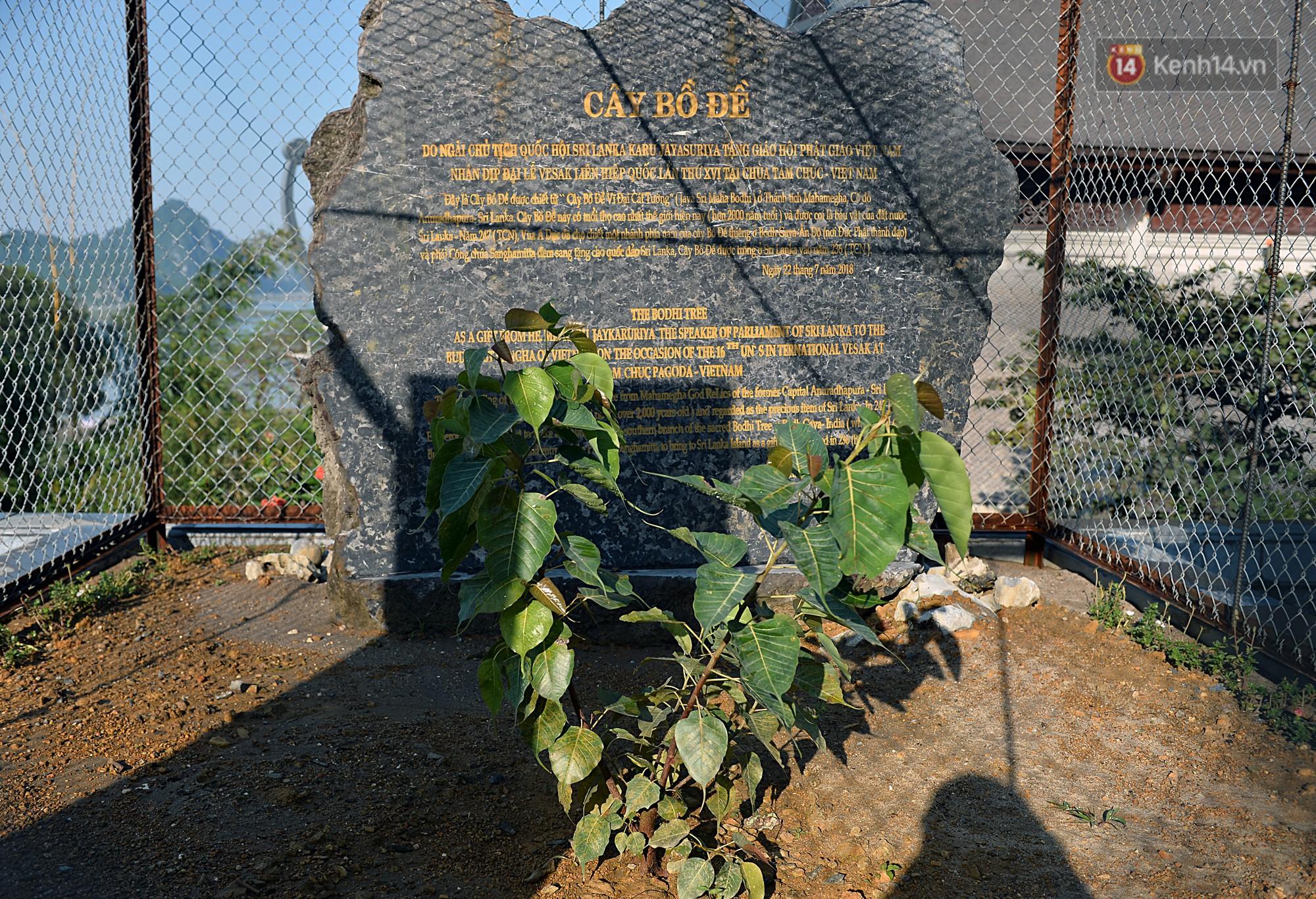 Phía trong sân chùa còn đang trồng cây bồ đề được chiết từ