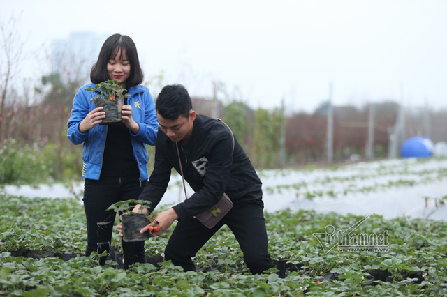 Hai bạn trẻ Nguyễn Trọng Thuỷ và Hoàng Thị Ánh Xuyên dạo chơi chụp ảnh trong vườn dâu tây