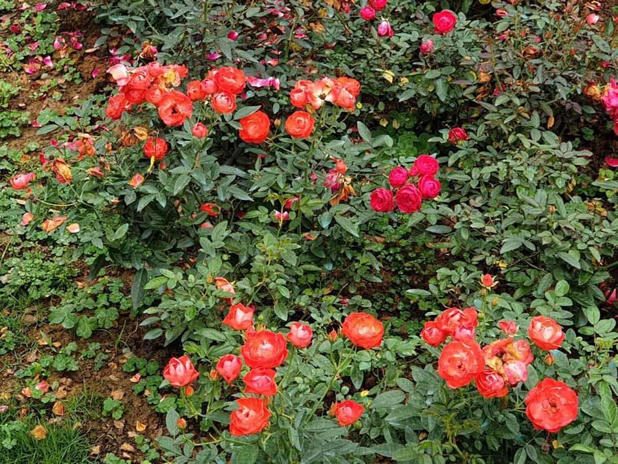 Vì diện tích vườn hồng rất lớn - hơn 3,5 ha trong quần thể toàn khu là 170 ha nên vừa bước vào cổng, du khách sẽ cảm nhận được một không khí mát lành với hương thơm vô cùng quyến rũ.
