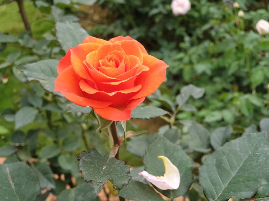 Vườn hồng lớn này rộng 3,5ha, nằm trong một quần thể du lịch sinh thái rộng gần 200 ha, thuộc Vườn quốc gia Ba Vì.