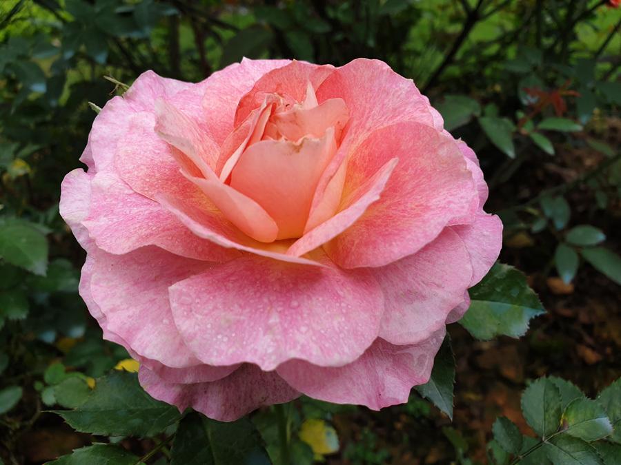 Được biết, chỉ trong vòng 2 năm, đã có 600 nghìn gốc hồng được trồng tại đây. Ngoài các giống hồng nội địa còn có nhiều gốc hồng cổ, hồng ngoại được nhập về từ nhiều nước trên thế giới. Một đợt nở hoa tương ứng với khoảng 3 triệu bông.