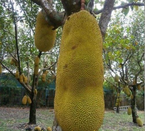 Giống mít siêu dài xuất xứ từ Malaysia được cho là rất hợp với đất và khí hậu Việt Nam nên được người dân săn mua để trồng nhiều hiện nay.