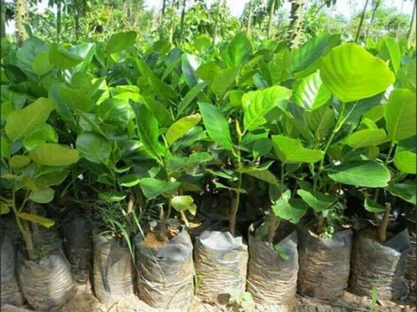 Hiện nay cây giống mít siêu dài được bán với khá từ 160.000 - 200.000 đồng/cây non. Nguồn ảnh: FB Caygiongnongnghiep, caygiongdacsan.